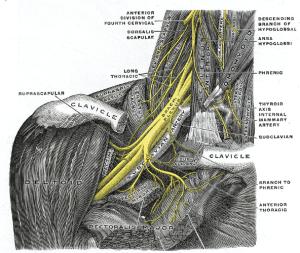 Brachial Plexus and Subclavian Artery